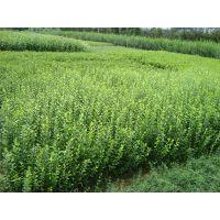 供应广场绿化用灌木杯苗地被草花时令宿根花卉