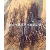 冬枣树苗价格 冬枣树苗基地直供 现挖现卖质优价廉