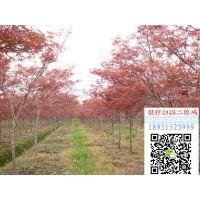 江苏地径5公分红枫价格报价165元每棵红枫小苗多少钱一棵