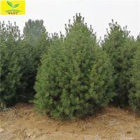 促销3米白皮松 树形饱满 规格齐全 供应4-6米白皮松树 现场看树起树