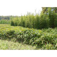 哪里有卖种植地6公分-10公分竹柳装车价格详情