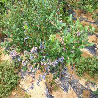 蓝莓苗基地 美登蓝莓苗大量供应 结果早产量高
