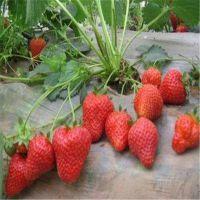 壹棵树农业销售章姬草莓苗 价格优惠 1年树苗 地径0.1米 可盆栽