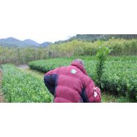 贺州南丰蜜桔营养杯苗基地哪家好