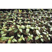花椒品种供应 九叶青、大红袍花椒苗