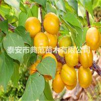 珍珠油杏树苗 珍珠油杏苗价格 哪里有珍珠油杏树苗