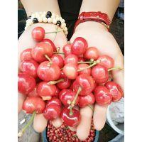 红灯笼樱桃树苗价格 樱桃苗管理要点