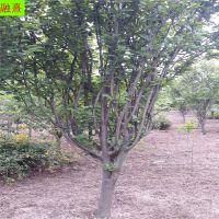 批发山东八棱海棠 4公分-16公分规格 分枝多 海棠树
