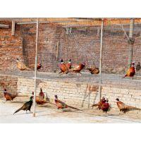 七彩山鸡养殖,哪里有卖野鸡苗的,七彩山鸡多少钱一斤山鸡苗