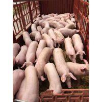 供应(中美合资)湖北鄂美PIC康贝尔L42母猪