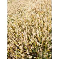 (矮超吨)小麦高产专用,控旺抗倒,穗大粒饱