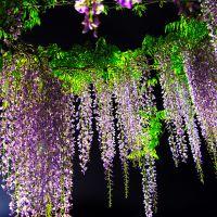 花圃直销爬藤花卉多花紫藤花 盆栽地栽长岁紫藤树 南京丰花紫藤萝