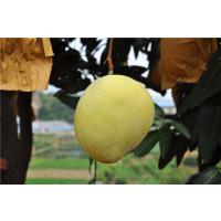 安顺市凯特芒果树苗批发 13457775554 当年结果 地栽盘栽 南方种植