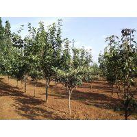 山西梨树苗、嫁接梨树苗、3到10公分占地梨树