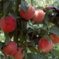 早熟桃树苗品种介绍 突围桃树苗几月份成熟