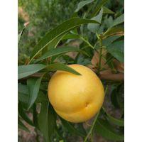 锦春黄桃树苗多少钱一棵 锦春黄桃树苗栽培要点