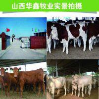 山西西门塔尔牛养殖场 华鑫牧业可提供回收渠道