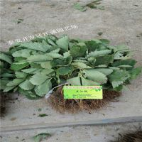 贵州适合种植的草莓苗 脱毒二代苗 基地常年培育法兰地草莓苗
