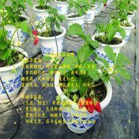 法兰地草莓苗除草