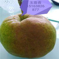 玉露香梨苗多少钱一颗 1-5公分玉露香梨苗价格