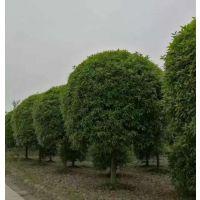 桂花树哪里便宜 江苏桂花树价格更便宜 品种更纯正