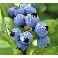供应蓝莓苗 蓝鸟蓝莓 品种纯正 货源充足 欢迎新老客户前来订购