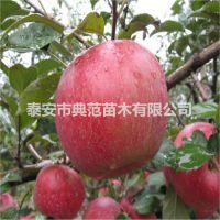 蜜脆苹果苗价格 蜜脆苹果树苗介绍 产地直供苹果苗