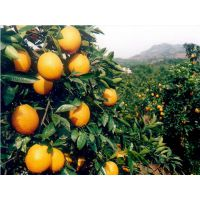 桂林哪里有桂橙一号苗供应