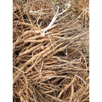 林下种植油用牡丹苗风丹苗利润高