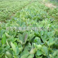 安娜草莓苗价格 安娜草莓苗品种介绍