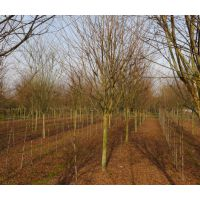 出售地径4-5-6-7-8公分紫薇树占地苗 具体紫薇树价格欢迎来电咨询