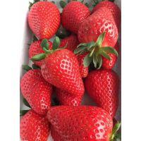 供应安娜草莓苗 安娜草莓苗多少钱一棵