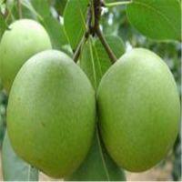 供应优质品种梨树苗 高产稳产梨树嫁接苗 量大从优
