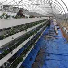 新型栽培模式-安平草莓立体种植槽-增产增效-新鲜草莓