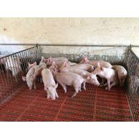 鄂美猪种改良公司优质苗猪健康好、生长快、饲料转化率高