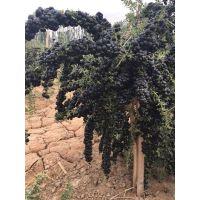 大量出售黑枸杞苗黑枸杞苗木黑枸杞苗子新品种黑枸杞苗子高产新品种,全国适应的改良苗