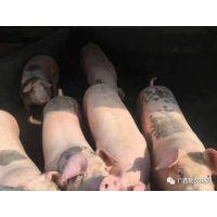养猪场用的益生菌耐高温益生菌饲料添加剂