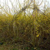 江苏连翘苗供应基地 自己50-60-70-80公分高连翘苗现在便宜卖