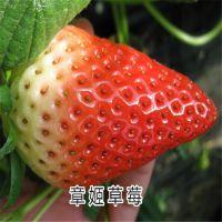 泰安瑞康苗木园艺场批发优质章姬草莓苗种苗 甜度高 根系好
