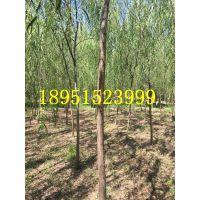 2018年安徽胸径12公分垂柳树价格多少钱一棵行道树柳树基地
