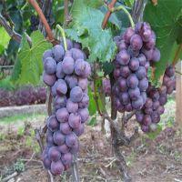 山东葡萄苗批发 可盆栽地栽 价格优惠 1公分-3公分规格 巨峰葡萄苗哪里买