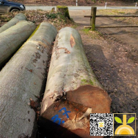 尚高木业供应德国榉木,BC级榉木原木货到青岛港