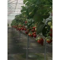 供应新品种越心草莓苗 哪里有越心草莓苗
