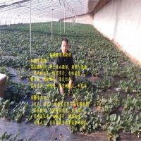 法兰地草莓苗预定