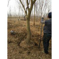 胸径12公分乌桕树价格多少钱一棵报价420元行道树乌桕基地