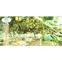 河南省的猕猴桃采摘基地在哪里?水源地农业科技有限公司1000亩有机种植基地