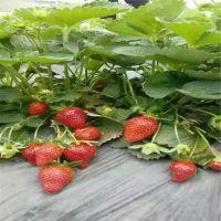 志森园艺供应新品种草莓苗 大棚草莓苗章姬 红颜