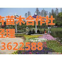 园林绿化苗木|芳青花卉苗|园林绿化苗木 工程