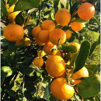 柑橘产业前景扶贫项目就种植由良蜜桔湖南基地供应各种苗木