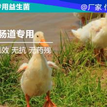蛋鸭益生菌制剂调理肠道防止拉稀腹泻